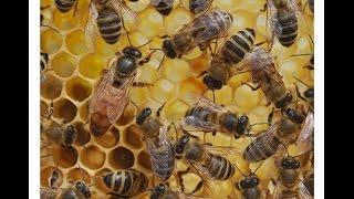 Подсадка плодной матки Бакфаст в чём ошибка(Уважаемые пчеловоды. Купил плодную матку Бакфаст, матка просидела в клеточки около недели, после чего была..., 2015-05-25T07:30:54.000Z)