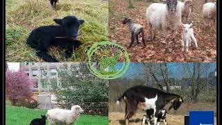 La Moutonte - Eco-pâturage - France Bleu Orléans