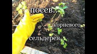 ПОСЕВ!!/ Корневой сельдерей/ Московская обл/ 11.02.19/ #celeryroot