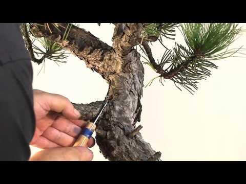 bonsai erstgestaltung einer m dchenkiefer by carmen g doovi. Black Bedroom Furniture Sets. Home Design Ideas