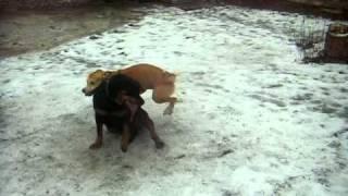 вот такая может быть и любовь у собак))