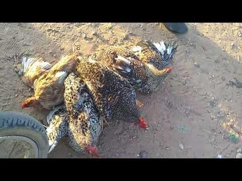 Feira!!!! 🐤🐤🐤de galinhas em Trindade pé/17/01/20
