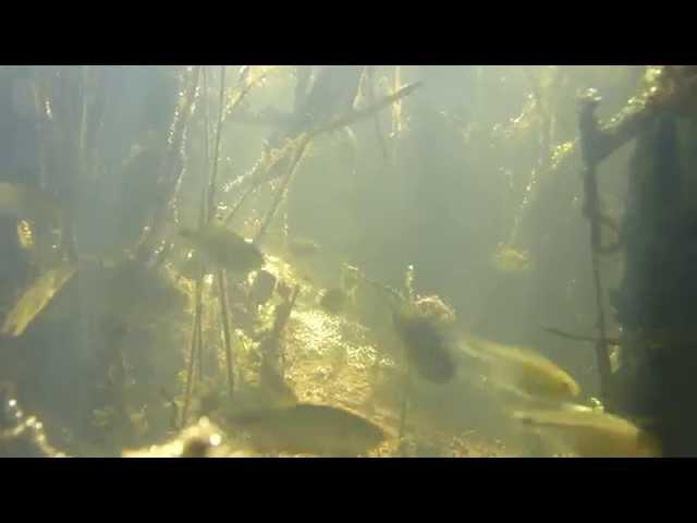 Peces del Arroyo Marmol