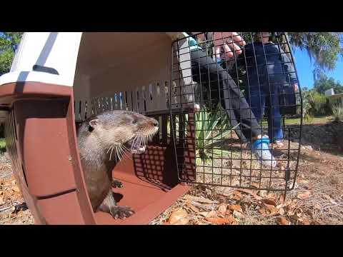North American River Otter Release