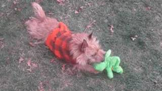 Rescue Cairn Terriers Playing In Nj