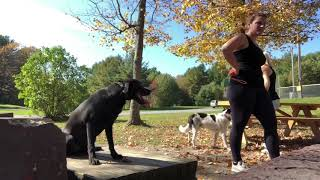 Manhattan Dog Trainers | NYC Dog Trainers | Charlie, Year Old Labrador | Off Leash Dog Training