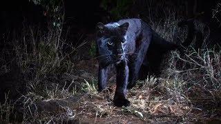 """""""BLACK PANTHER"""" IN KENIA: Seltener schwarzer Leopard gefilmt"""