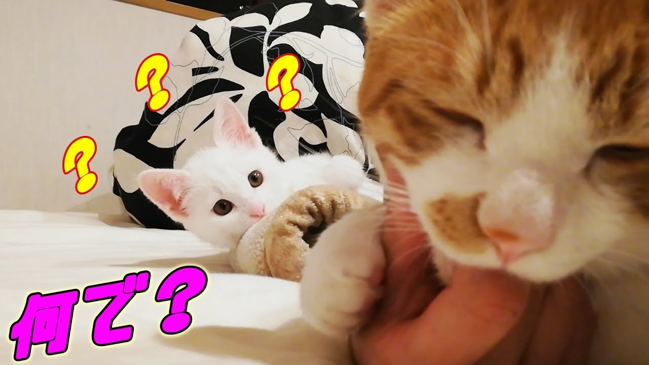 [保護子猫]不思議そうな顔で兄猫とママの行動を見つめる弟猫…笑(赤ちゃん猫)