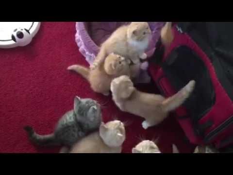 Scottish Fold Munchkin Kittens Playing