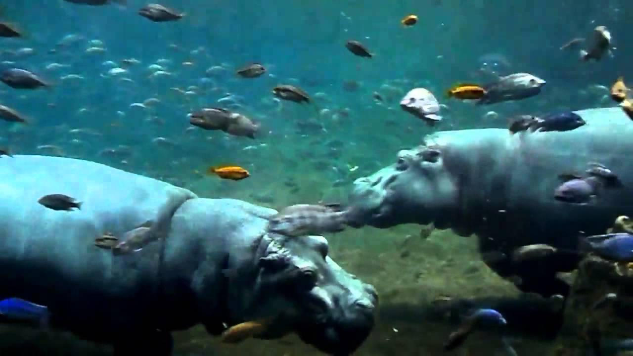 Hippos At Adventure Aquarium Camden Nj Youtube
