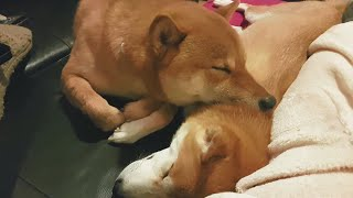 Spa-day - MLIP / Ep 112 / Shiba Inu puppies