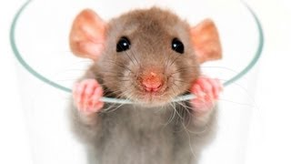How to Fix a Rat Behavior Problem | Pet Rats