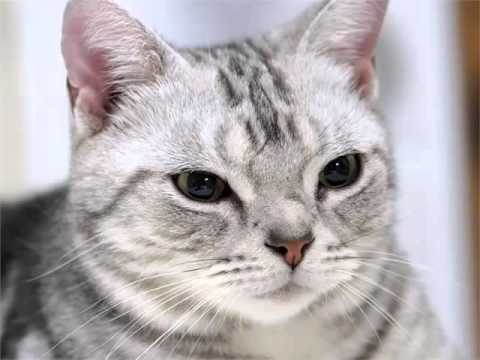 American Shorthair Grey - Cat Pictures