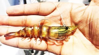 Is This The Easiest Artificial Prawn Lure To Fish With??