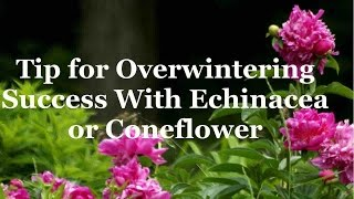 Tip for Overwintering Success With Echinacea or Coneflower