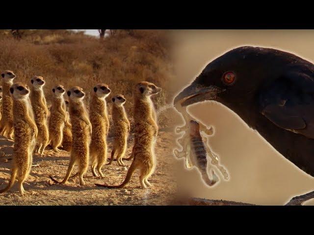 Drongo Bird Tricks Meerkats   Africa   BBC Earth