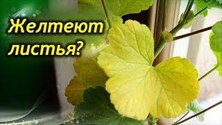 Сохнут и желтеют листья у Герани. Почему и что делать?