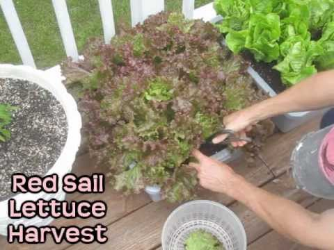 Lettuce Harvest Regrowth Timelapse Container Garden