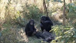 Un chimpanzé filmé en nettoyant les dents de son fils mort