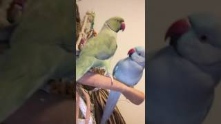Parrot brothers enjoy morning kisses from their mom and brother