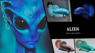 Wild Betta Alien/Alien Hybrid (Ikan Cupang Mahachai)
