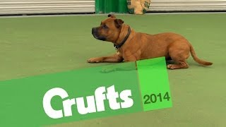 East Anglian Staffordshire Bull Terrier Display Team | Crufts 2014