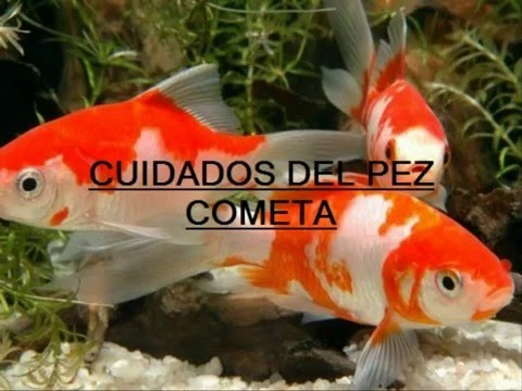 Acuario tiktalic peces japones cometa doovi for Carpas koi cuidados