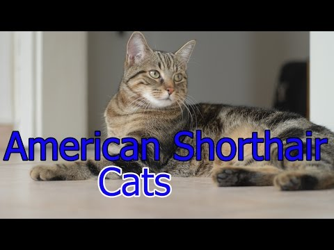 American Shorthair Cats ★ AnyFuns Channel