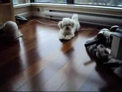 maltese barking cute maltese puppy barking youtube 9308
