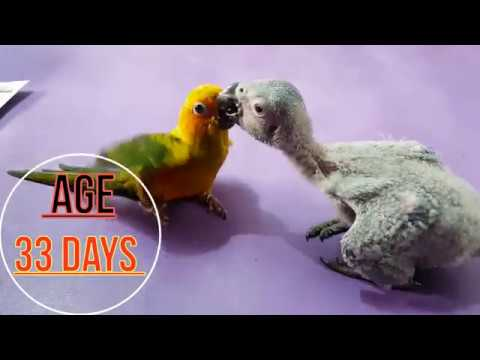 Congo African Grey Parrot's Baby Chicks Hand Feeding Care And Treatment Tips And Growing Progress