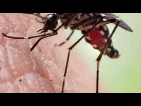 Genetically Modified Mosquitoes Released In Florida