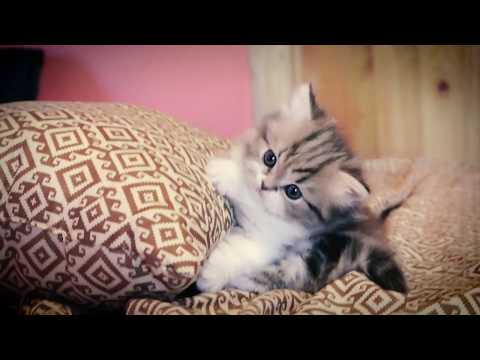 Munchkin kitten fought with a pillow...and lost
