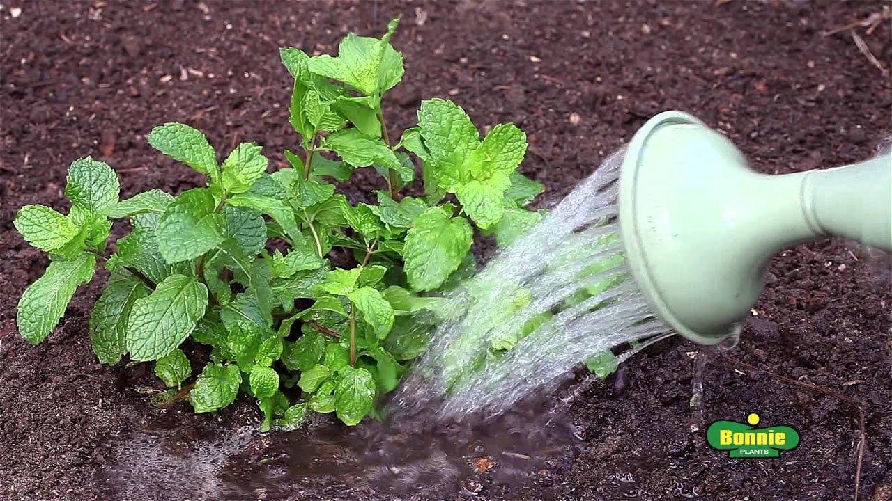 Growing Mint – Bonnie Plants