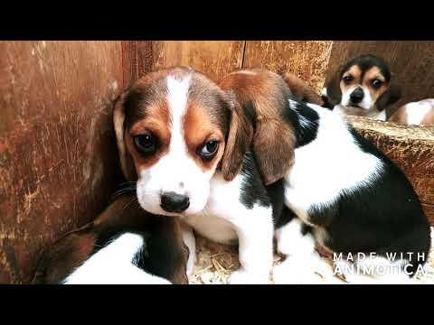 5 week Lemon and Tricolor Beagle pups from Rensie and Crockett