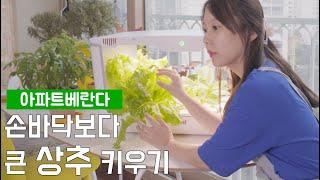 수경재배기 장,단점 (베란다텃밭 상추/깻잎/청경채 키우…