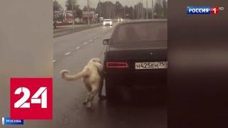 Москвичи спасли собаку от живодера, привязавшего ее к движущейся машине - Россия 24