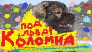 Кавказская овчарка-обзор,отзыв,стрижка под льва.Коломна