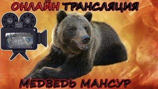 Медведь Мансур - 6 камер в эфире 🎥 6-cam Live Mansur bear
