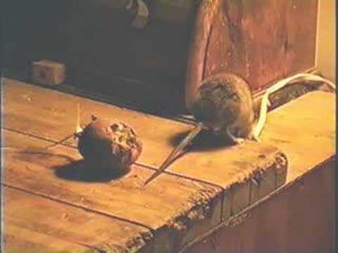 Download Rat video