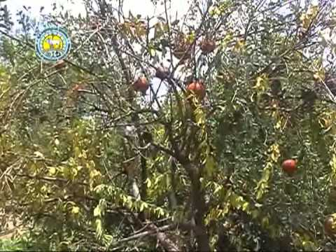Pomegranate diseases and Pests Part 1