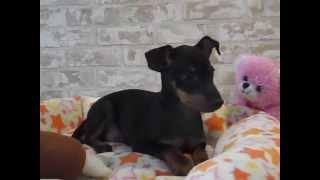 トイマンチェスターテリアの販売中の子犬です。 日本では、まだまだ珍犬...