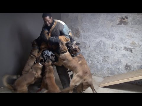 7 Belgian Malinois protect owner !