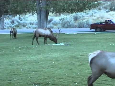 Bull Elk Ramming Cars in Yellowstone