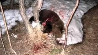 Ужас! медведи людоеды атакуют Камчатку m2p