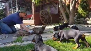 Kopov puppies wild boar training