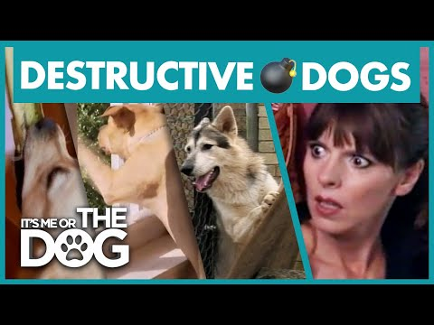 The Most Destructive Dogs   Best of It's Me or the Dog