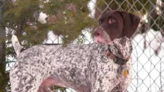 German Shorthaired Pointers-shake It