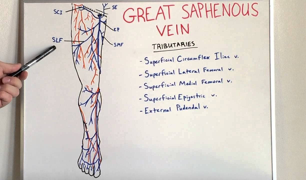 Great Saphenous Vein - Anatomy Video for Medical Students - USMLE ...