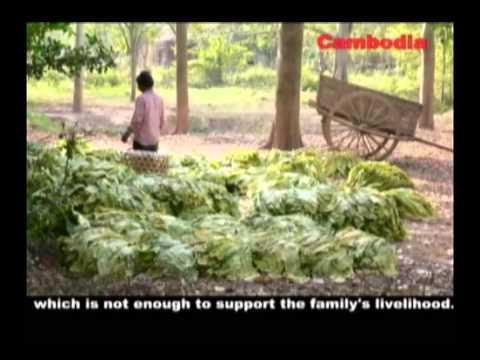 Truth of Tobacco Farming Unrewarding Condition