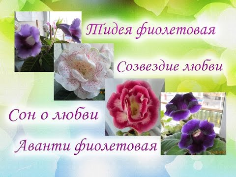 Цветущие глоксинии. Тидея, Созвездие любви, Сон о любви и Аванти фиолетовая. Красавицы глоксинии